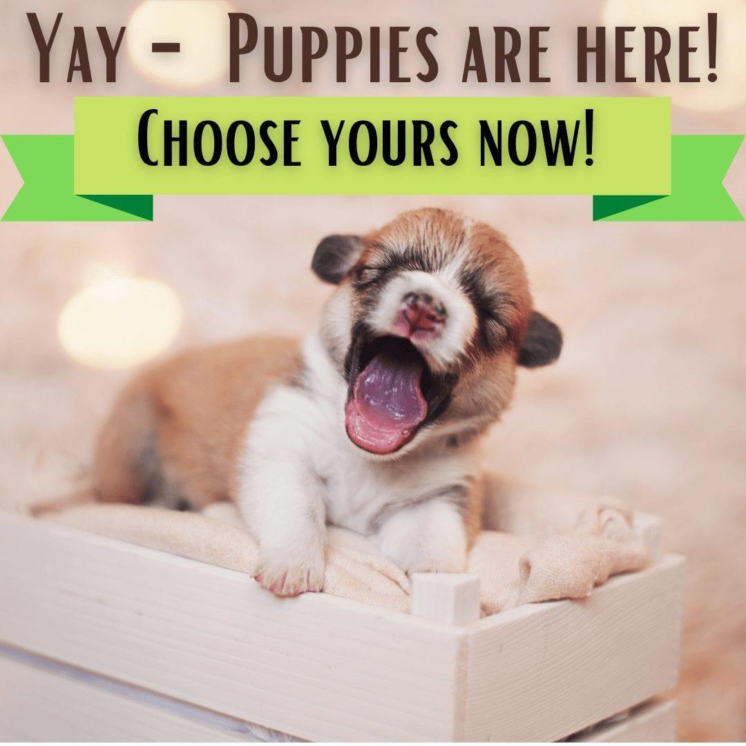 Corgi update puppies here 1080x1080-min