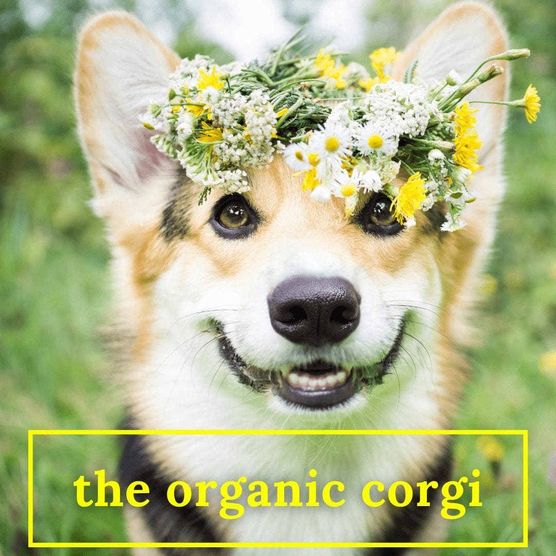 "photo of a corgi wearing flowers on her head and smiling. the words, ""organic corgi"" are at the bottom. cowboy corgi"