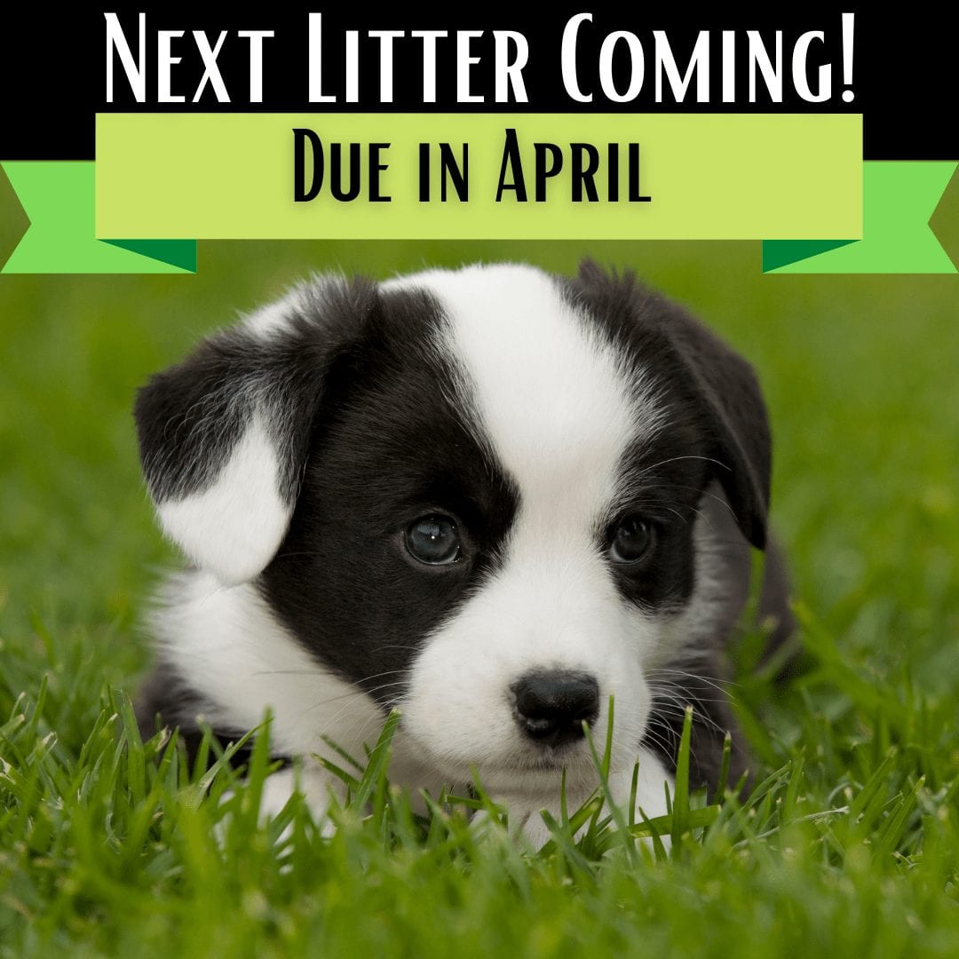 "photo of a black and white corgi puppy with a banner stating: ""Next litter coming! Due in April"" corgi puppies for sale"