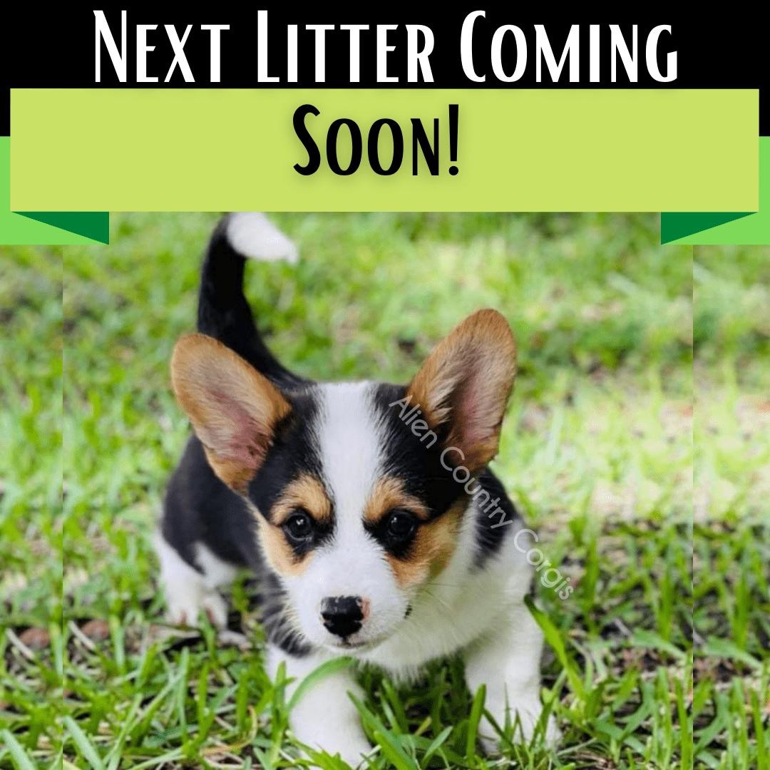 Corgi update puppies coming soon Max 1080x1080